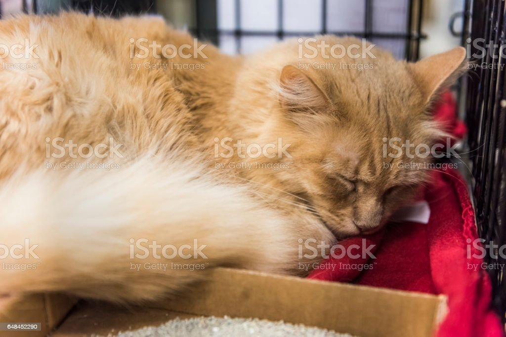 Orange tabby maine coon mix cat sleeping on blanket and waiting for adoption in shelter stock photo