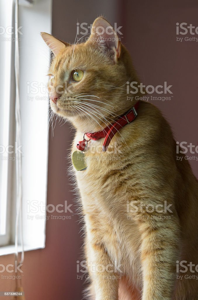 Orange tabby sitting looking out of window stock photo
