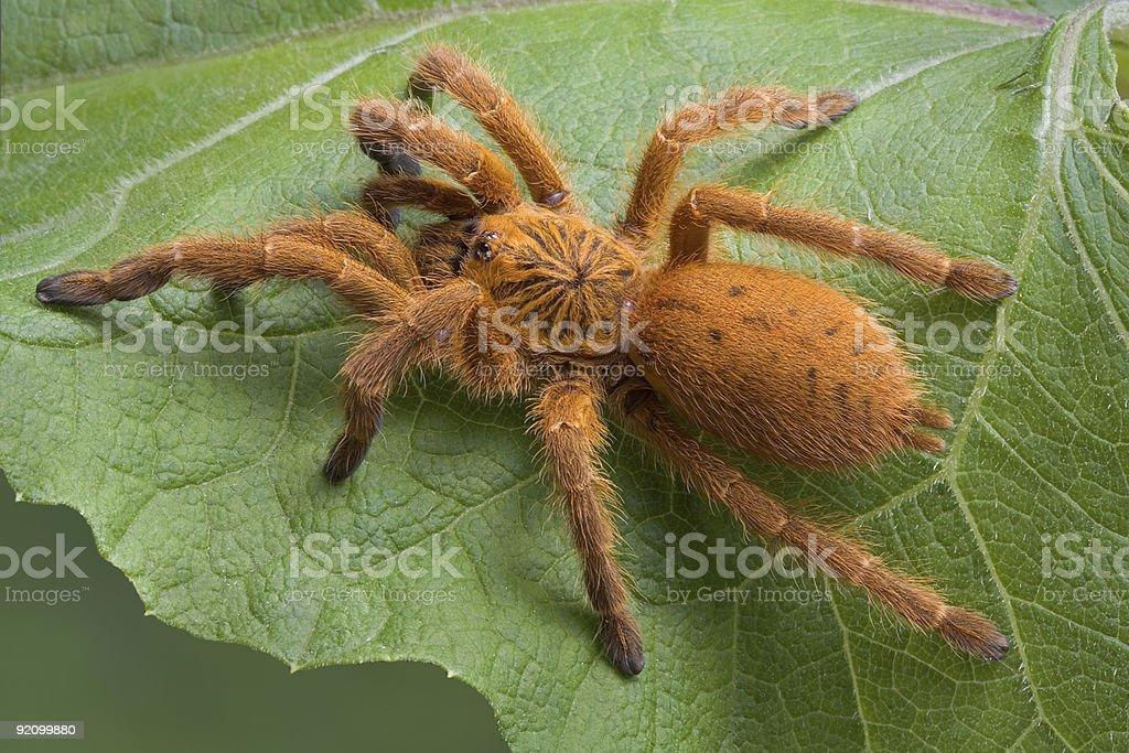 Orange tarantula stock photo
