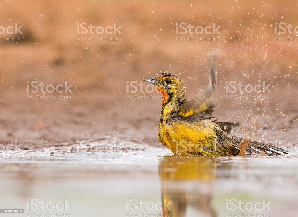 Pomarańczowy throated Longclaw zbiór zdjęć royalty-free