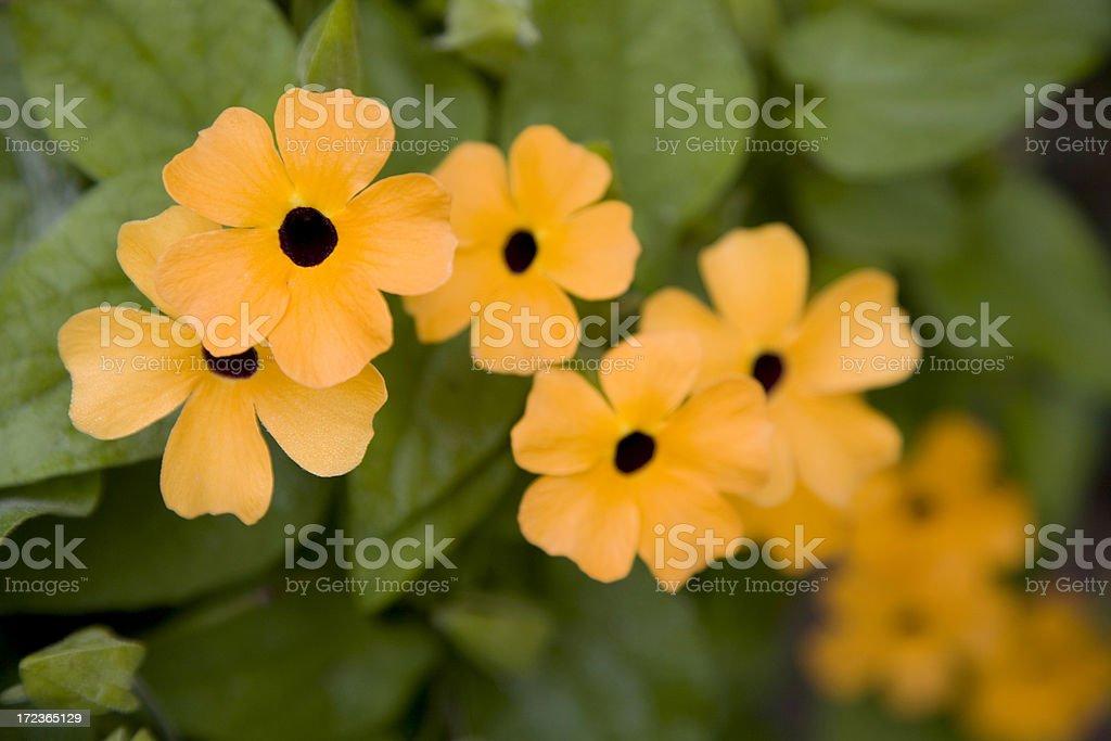 Orange Thunbergia Flowers, Black-eyed Susan Vine in Flower Bed royalty-free stock photo