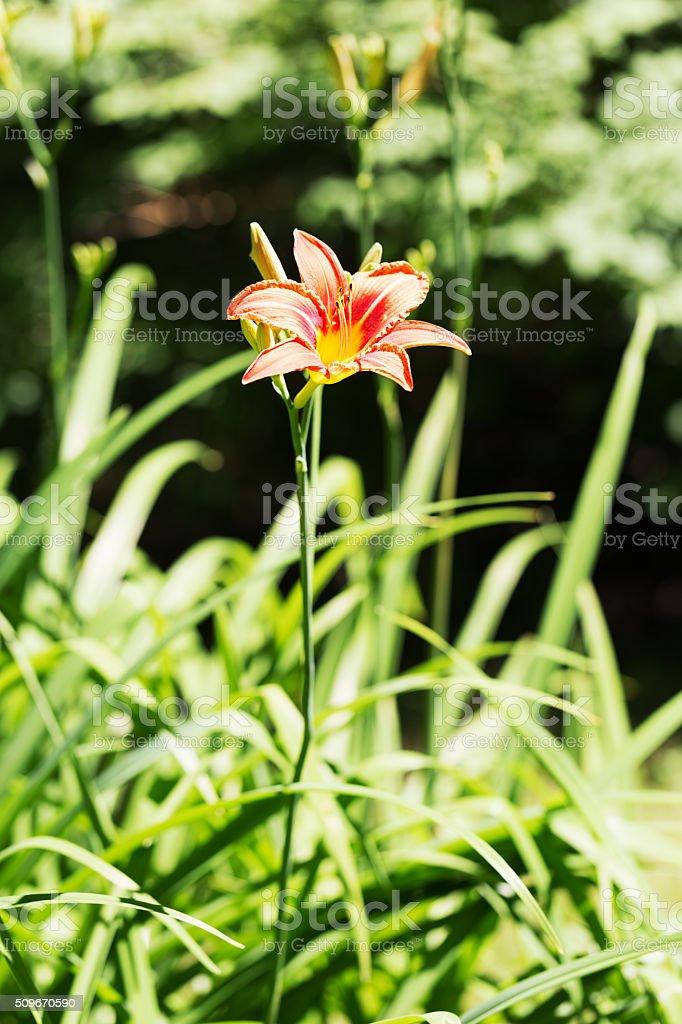 Orange Tiger Lily in a Flower Garden stock photo