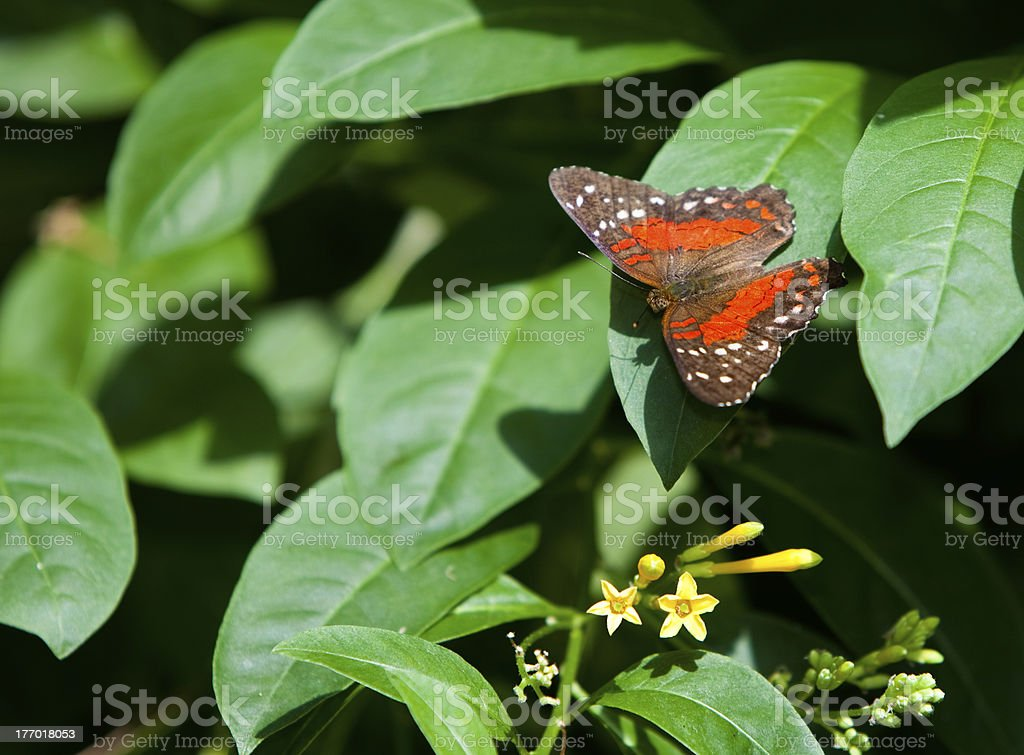 Orange Tiger Longwing stock photo