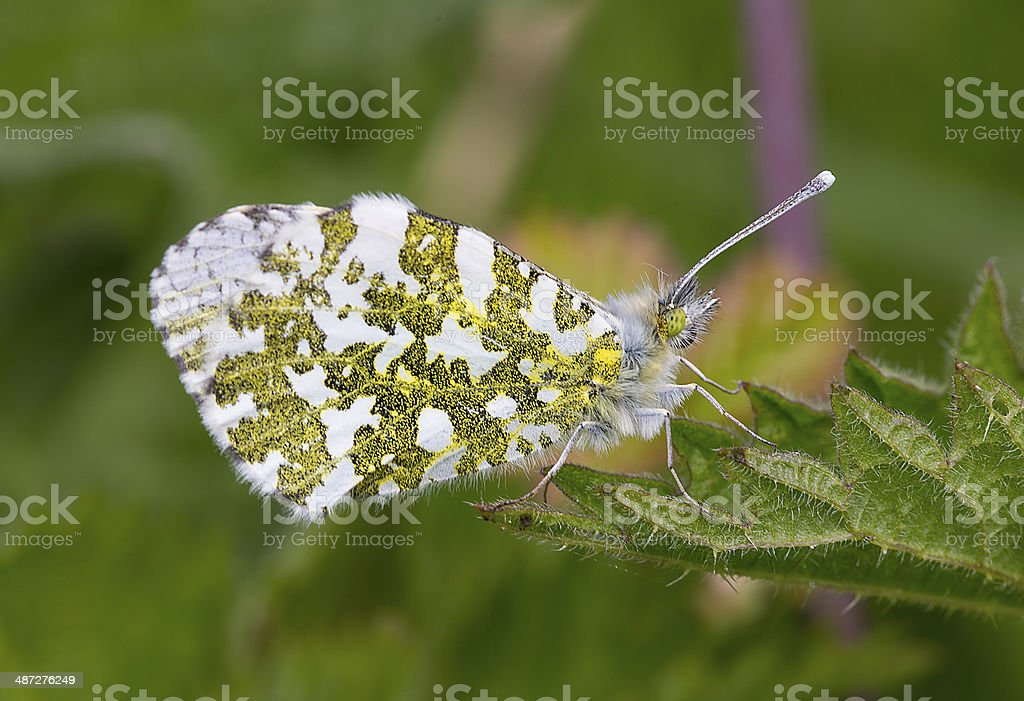 Orange Tip butterfly underwing in close up royalty-free stock photo