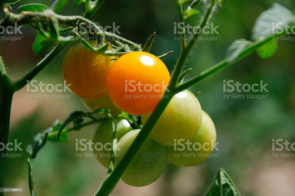 Orange Tomatoes Ripening on the Vine stock photo