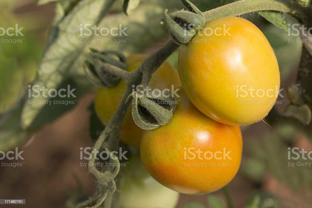 Orange Tomatos(Solanum Lycopersicum) royalty-free stock photo