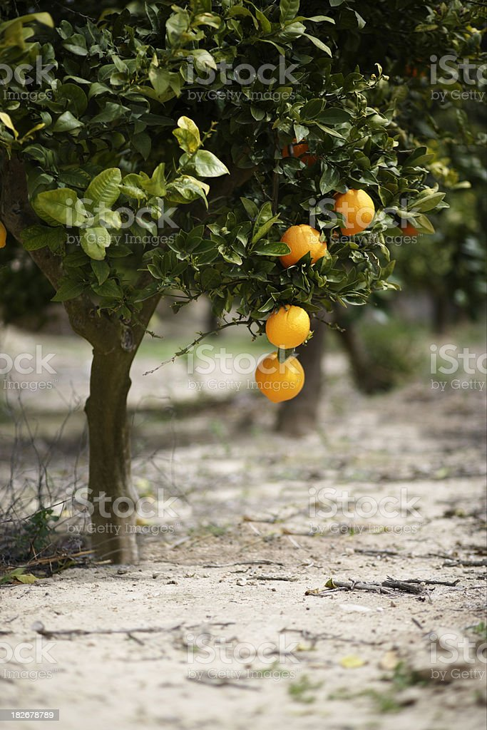 Orange Tree 2 royalty-free stock photo