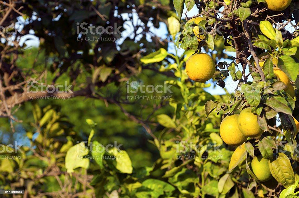 Orange tree bearing fruit royalty-free stock photo
