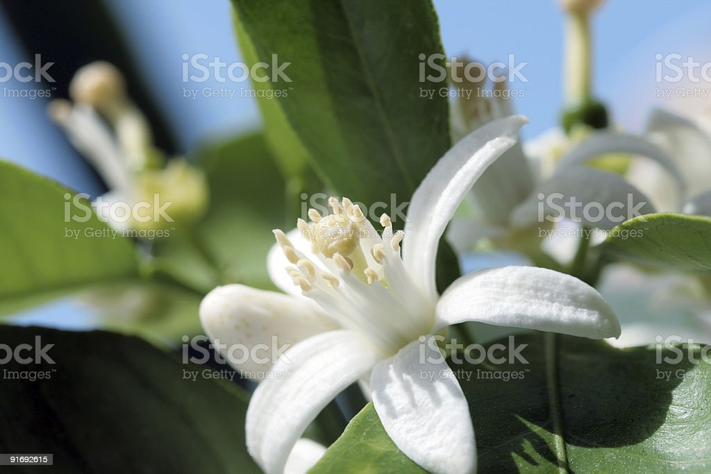 Orange tree blossom stock photo