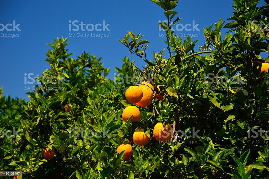 Orange tree, Crete Island, Greece stock photo