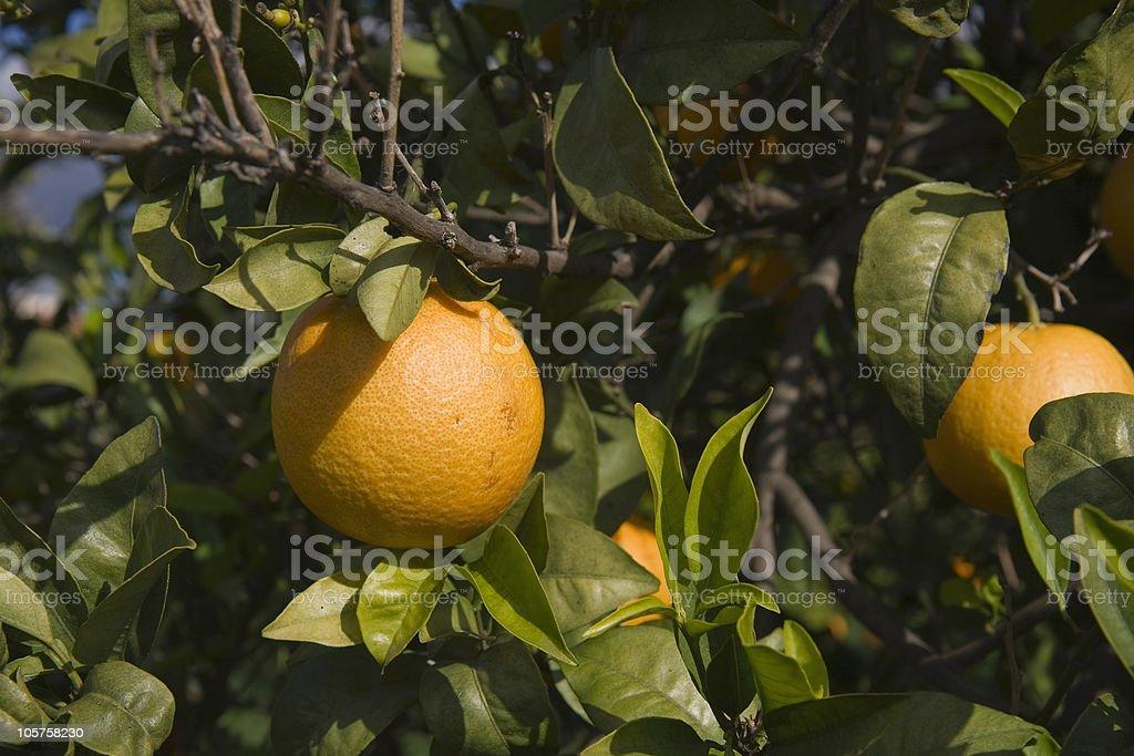 Orange Tree Detail royalty-free stock photo
