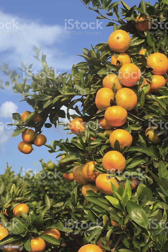 Orange tree filled with oranges with a blue sky stock photo