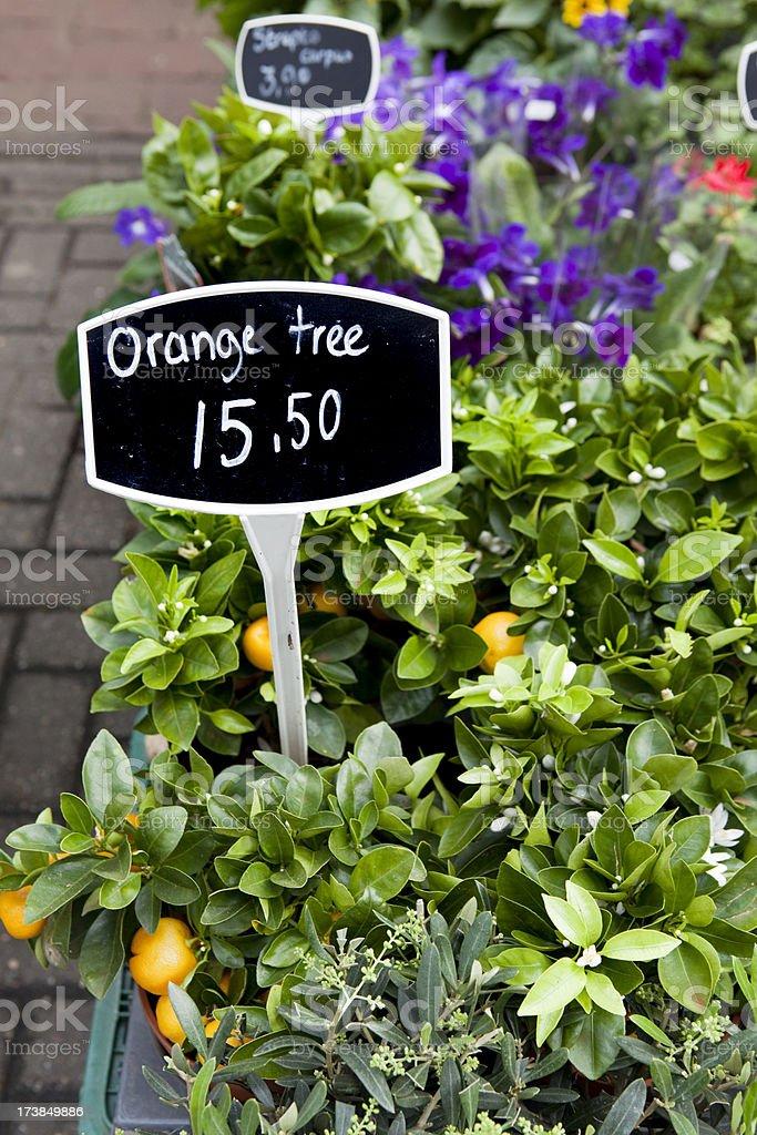 Orange Tree for Sale Amsterdam Flower Market royalty-free stock photo