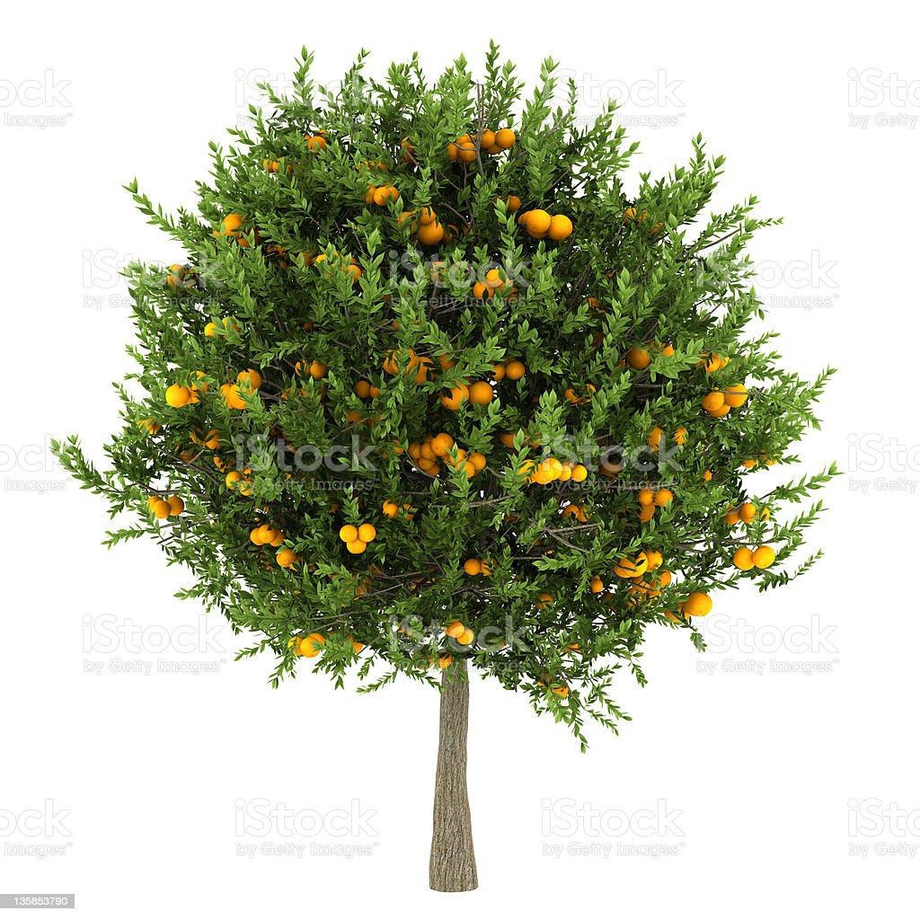 orange tree isolated on white background stock photo