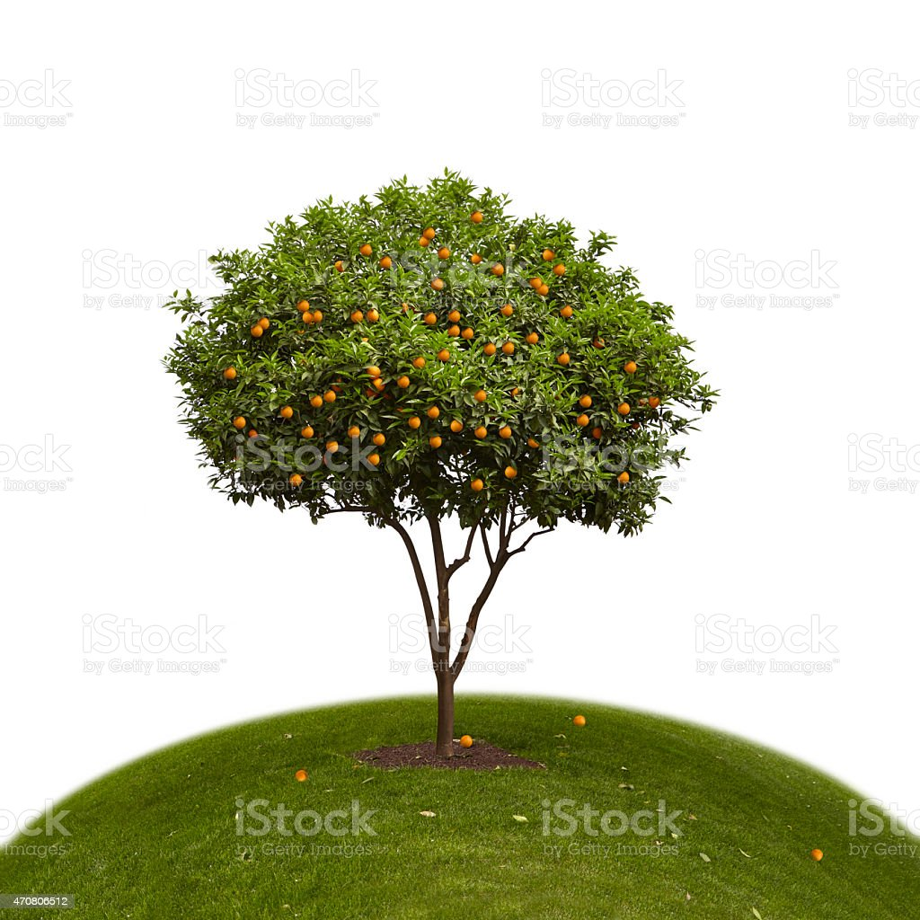 Orange Tree on a Green Hill stock photo