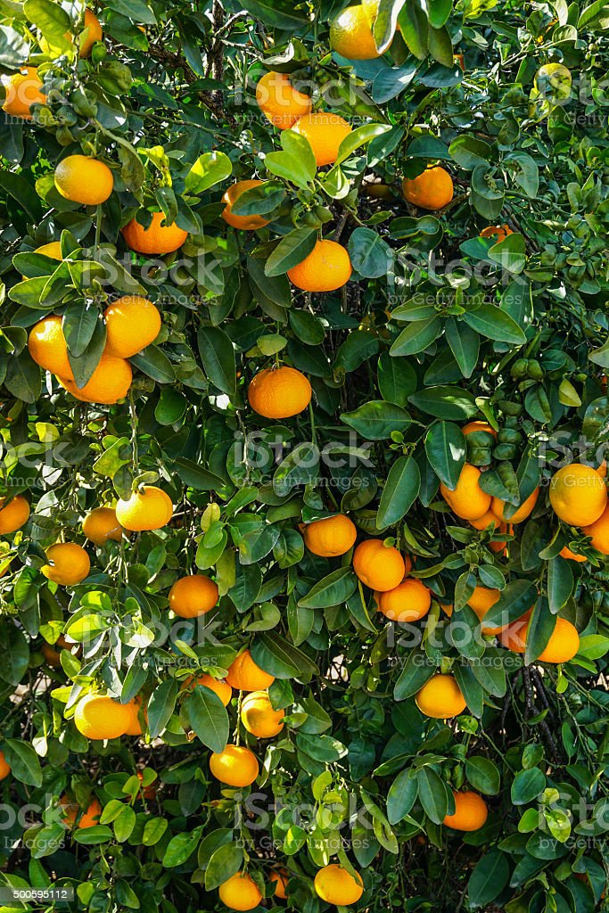 Orange Tree  Orchard stock photo