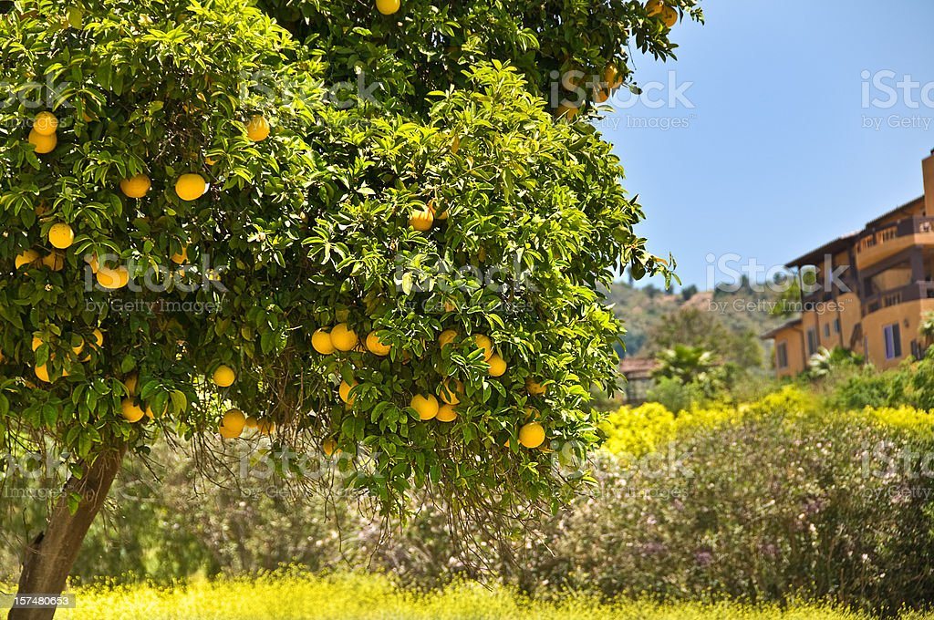 Orange Tree royalty-free stock photo