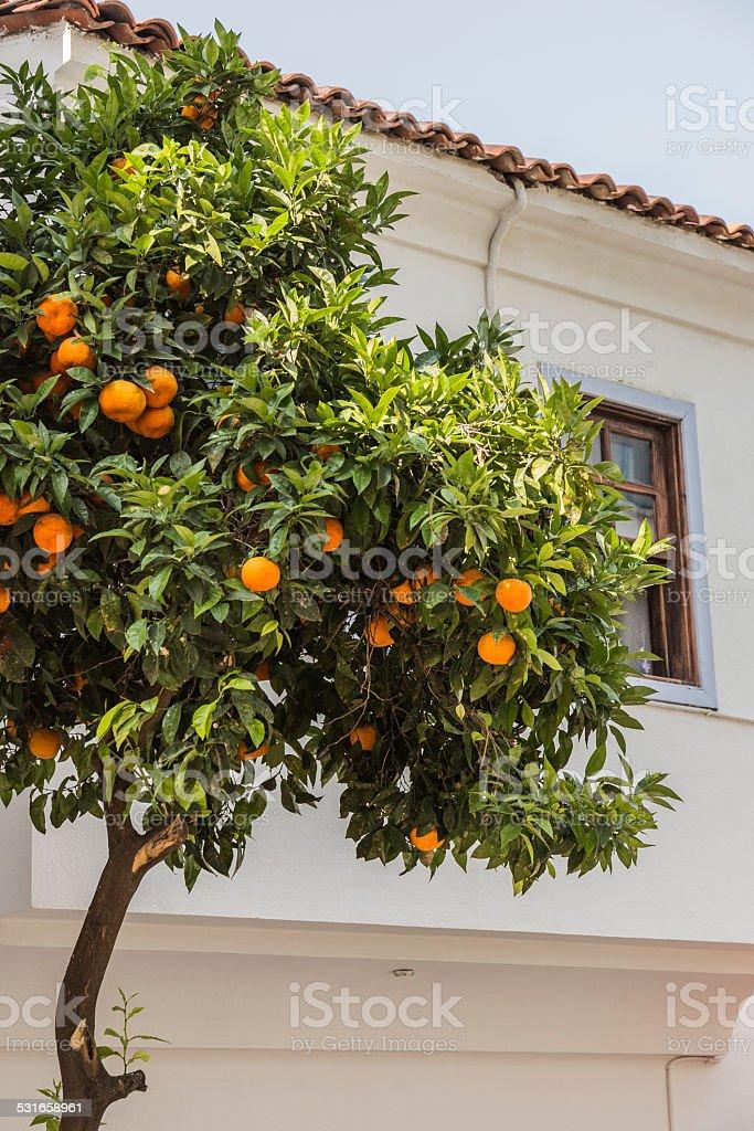 Orange Tree stock photo