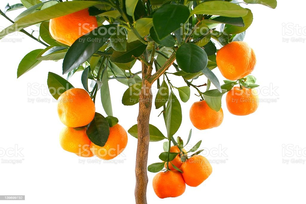 Orange Tree top with fruit royalty-free stock photo