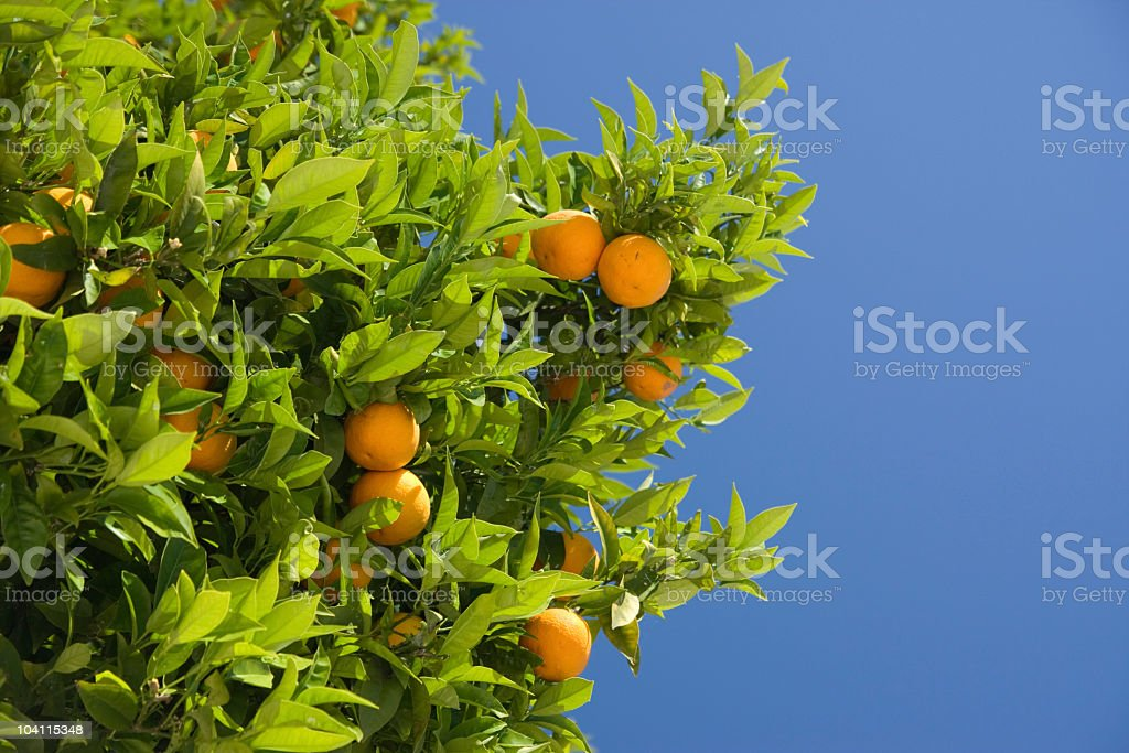 Orange tree with ripe oranges amongst its leaves stock photo
