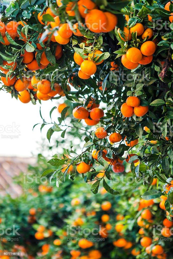 Orange trees. Faro, Portugal. stock photo
