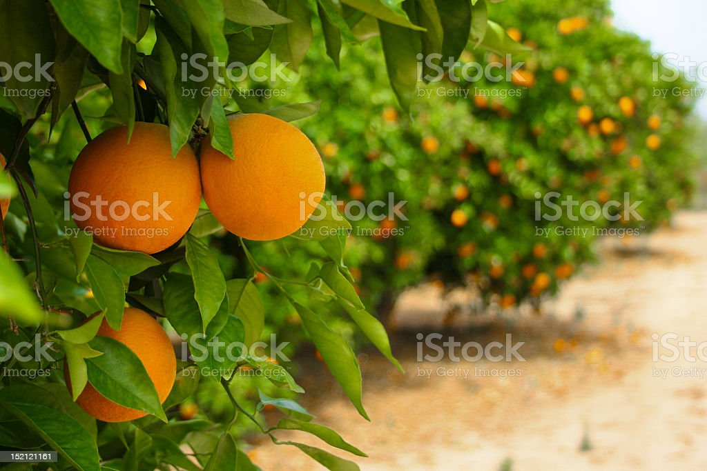 Orange trees in plantation ready to be harvested stock photo