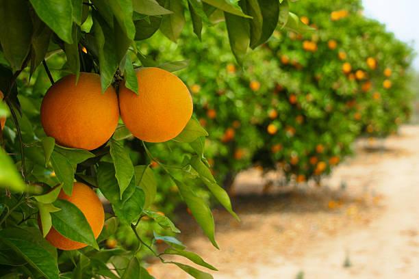Kết quả hình ảnh cho orange trees