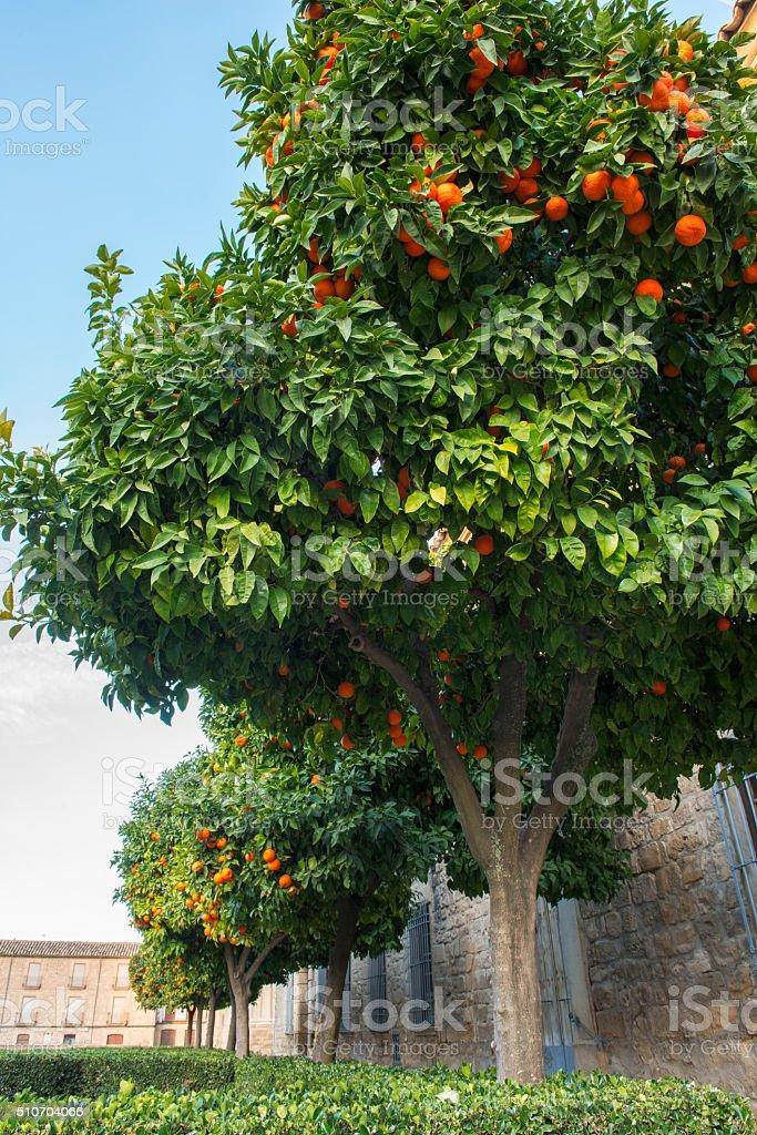 Orange trees in Spanish town stock photo