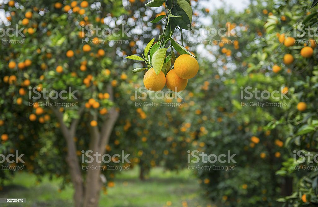Orange trees stock photo