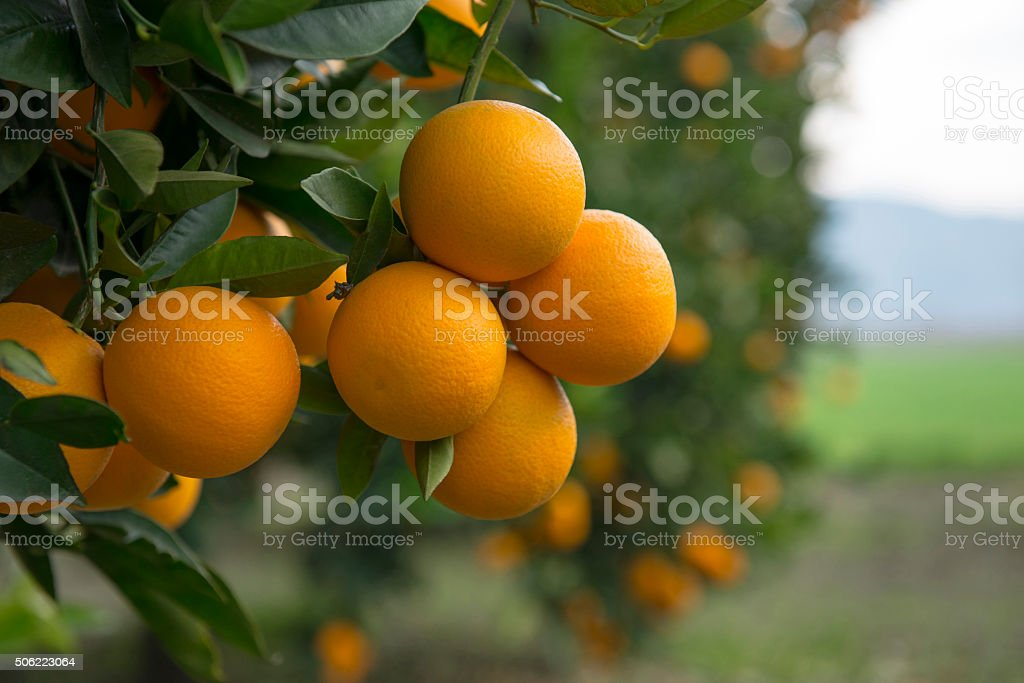 Orange trees stock photo