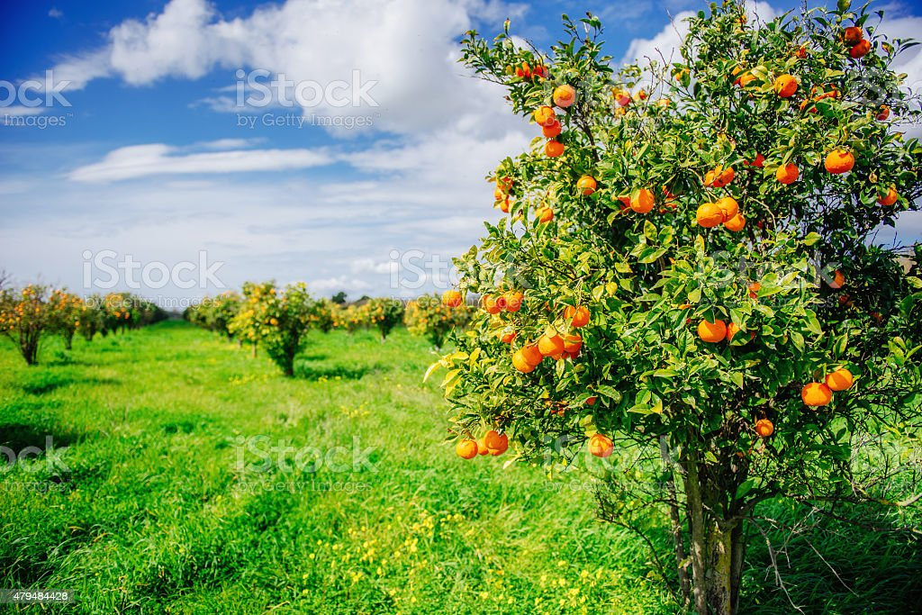 orange trees plantations stock photo