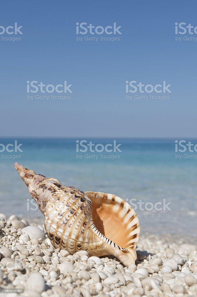 Orange Triton Shell on Bright Pebble Beach royalty-free stock photo