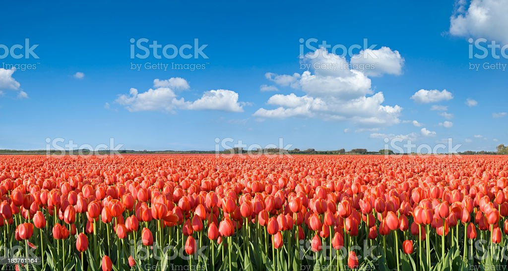 Orange Tulip Field stock photo
