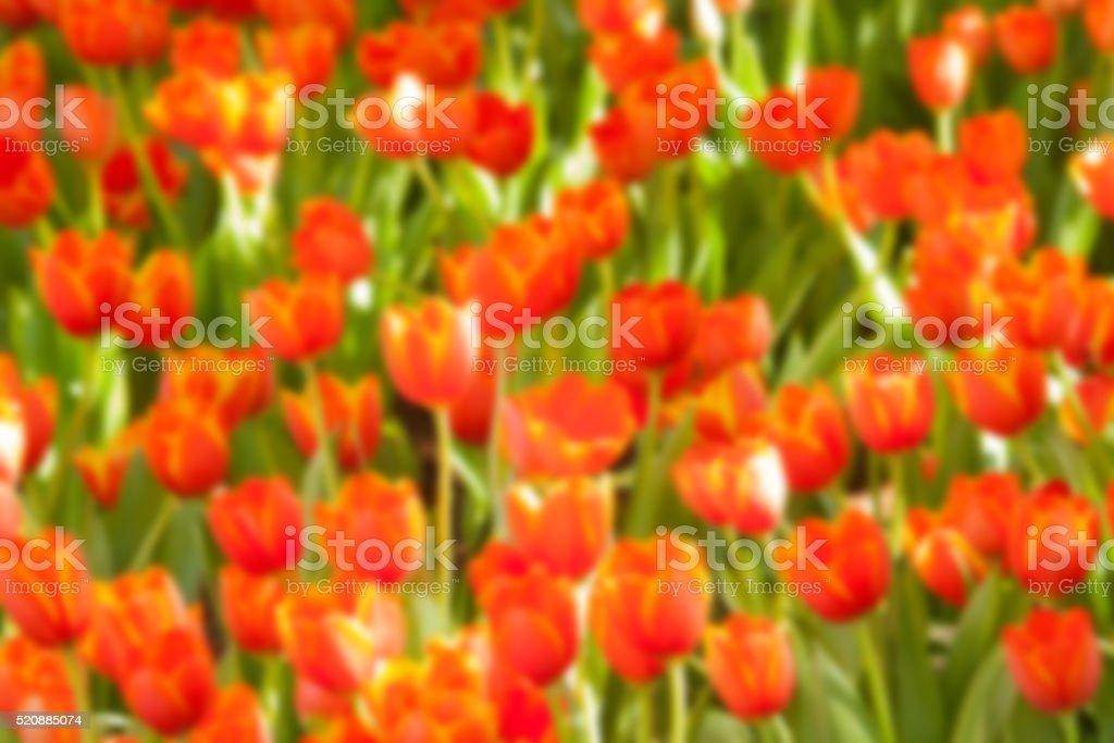 Orange tulip flower blur background royalty-free stock photo