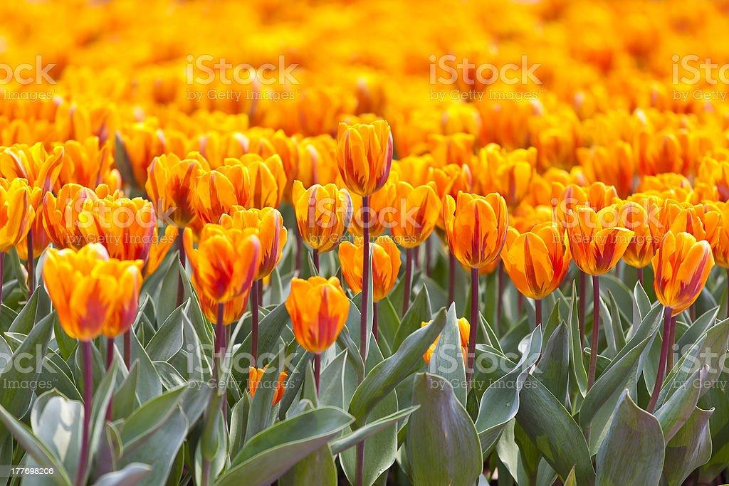 Orange tulip in spring royalty-free stock photo