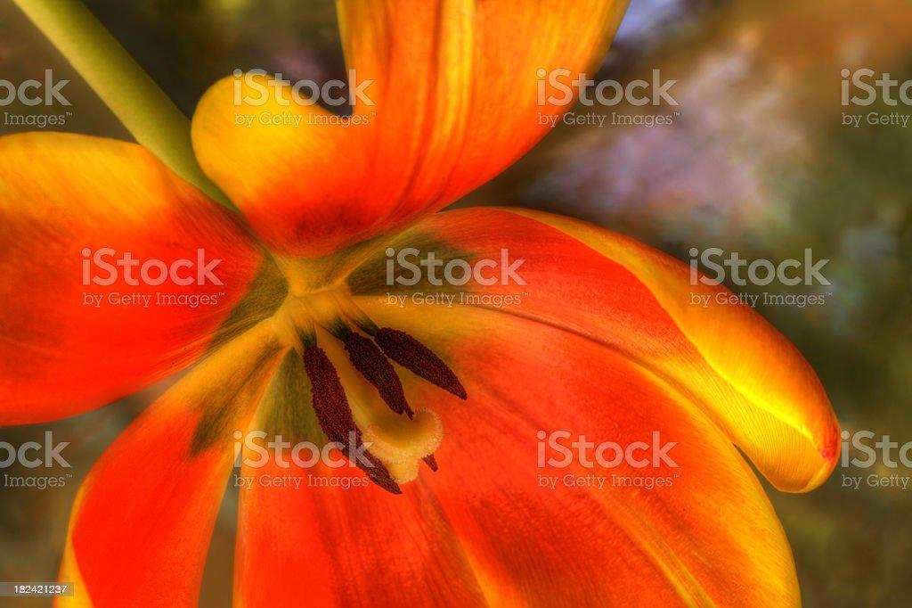Orange Tulip Macro in HDR on Watercolor stock photo