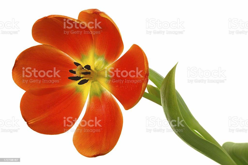 orange tulip on white royalty-free stock photo