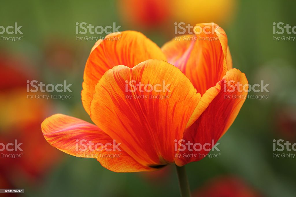 Orange Tulip royalty-free stock photo