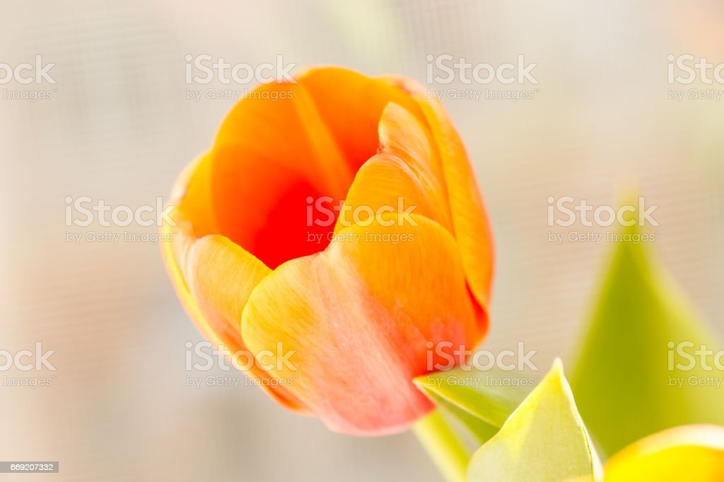 orange tulip stock photo