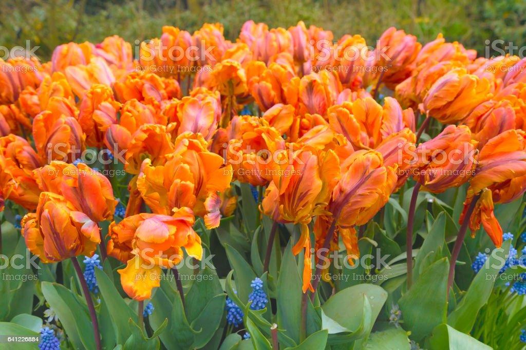 orange tulip texture holland symbol stock photo