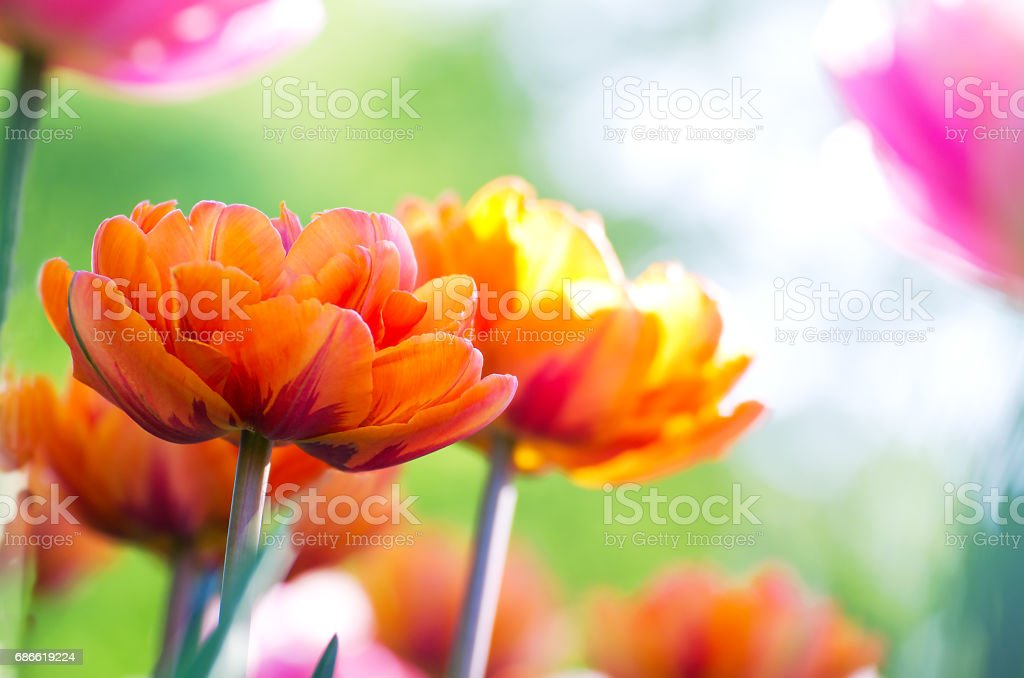 Orange tulips blooming in a garden close up in the morning sun stock photo