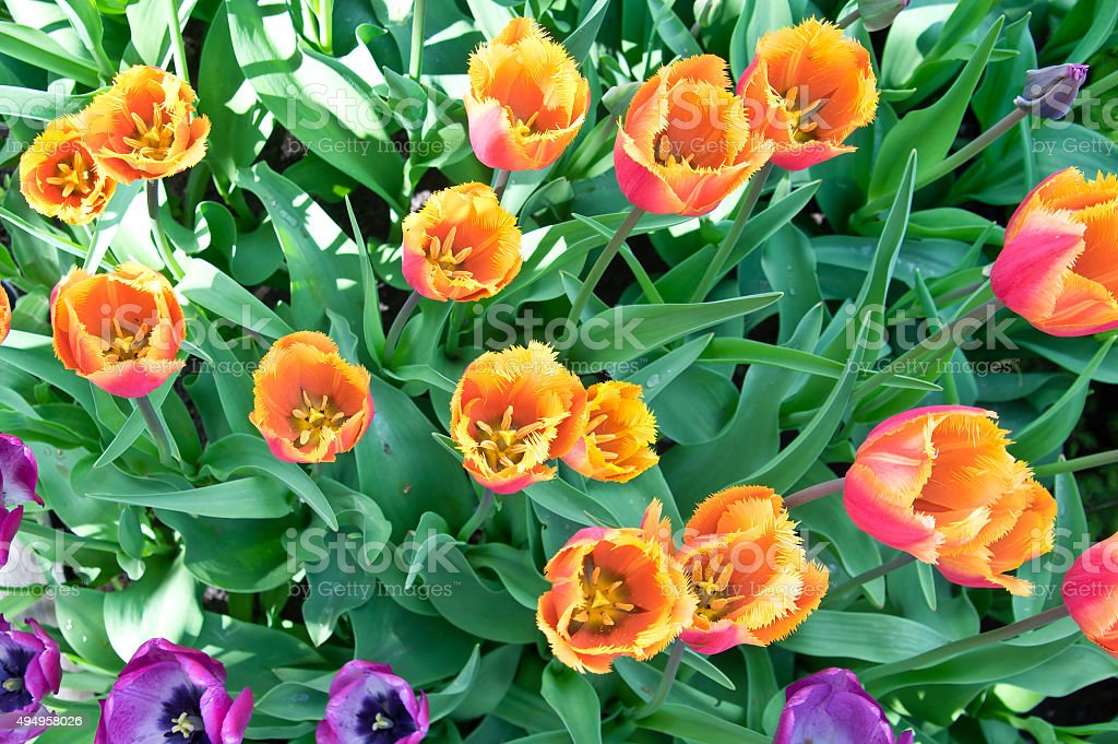 Orange tulips in flower bed stock photo