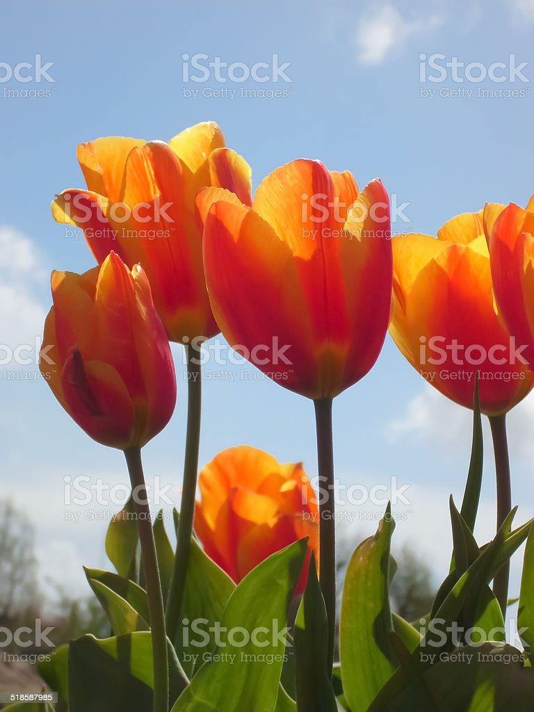 5 orange tulips on a tulip field in Holland royalty-free stock photo