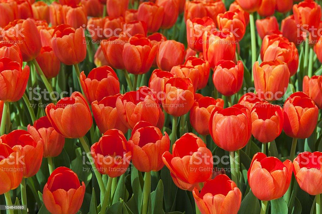 Pomarańczowy Tulipany zbiór zdjęć royalty-free