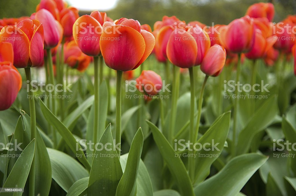 Orange tulips royalty-free stock photo