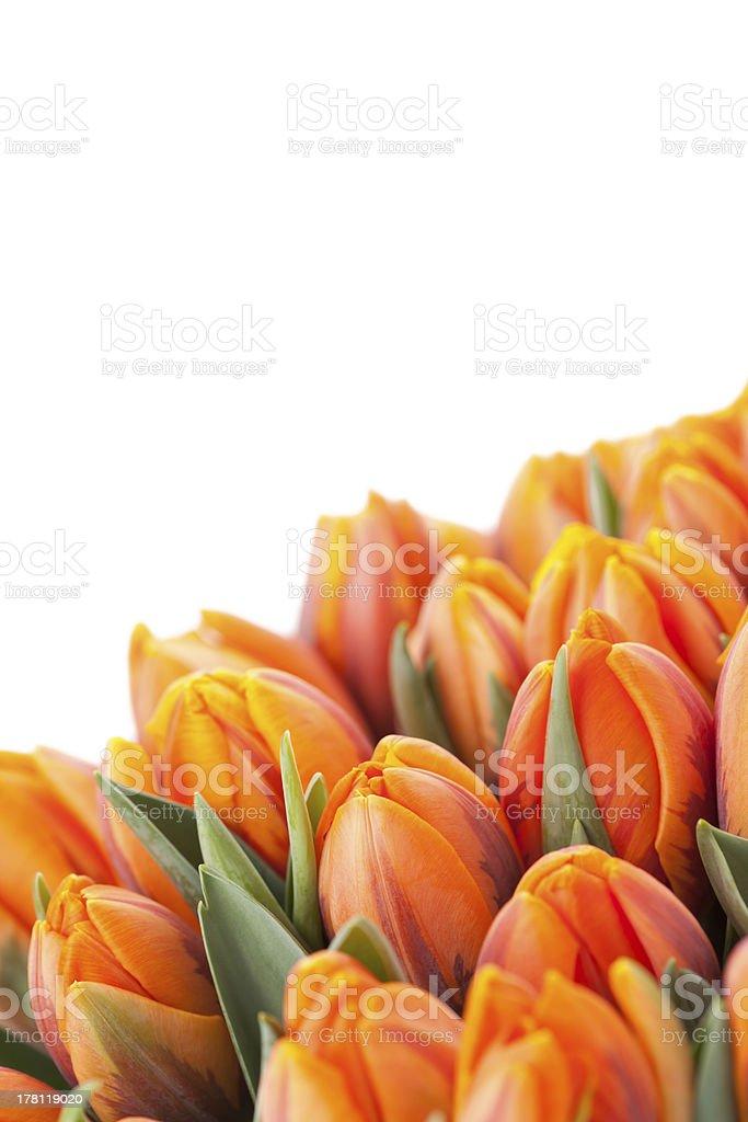 Tulipas cor-de-laranja foto royalty-free