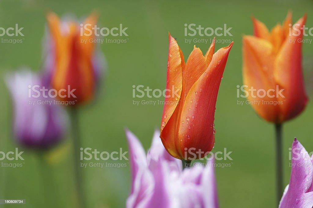 Orange tulips royalty-free stock photo