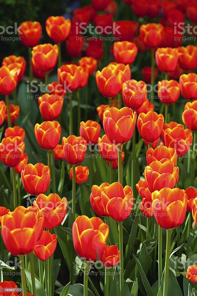 Orange tulips stock photo