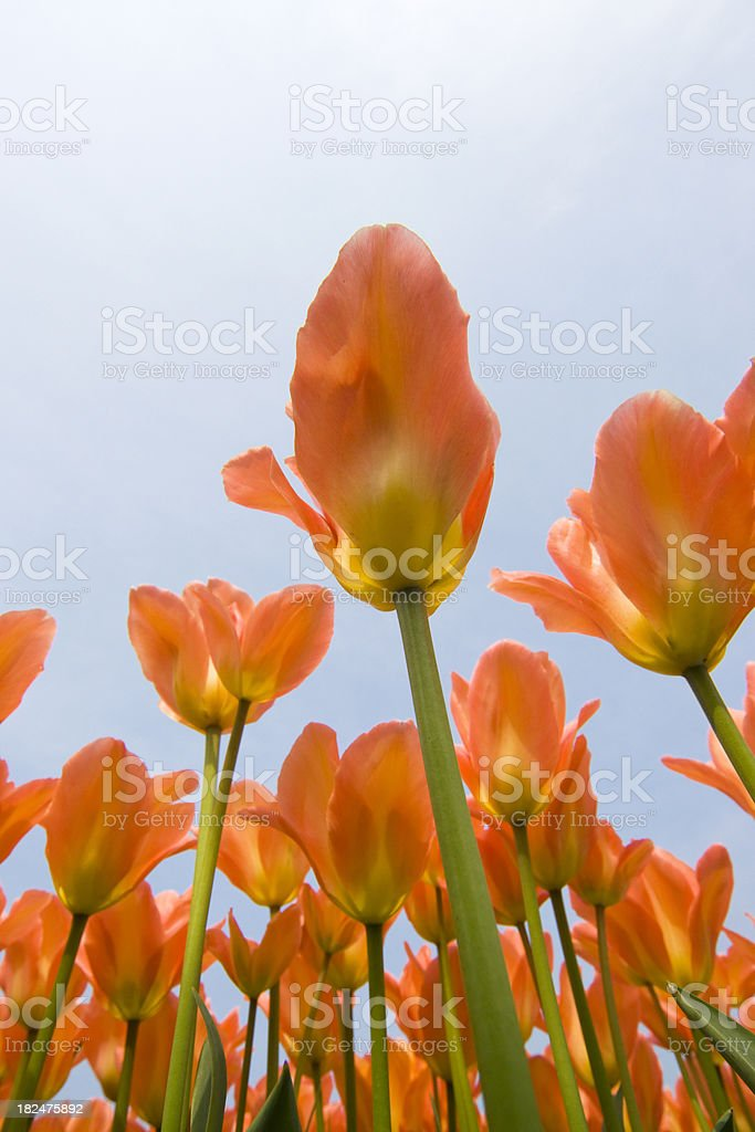 Orange Tulips seen from below stock photo