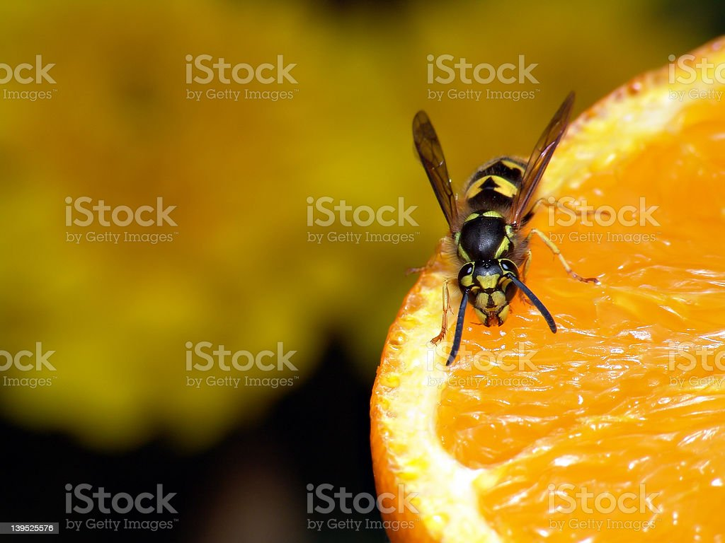 orange wasp stock photo